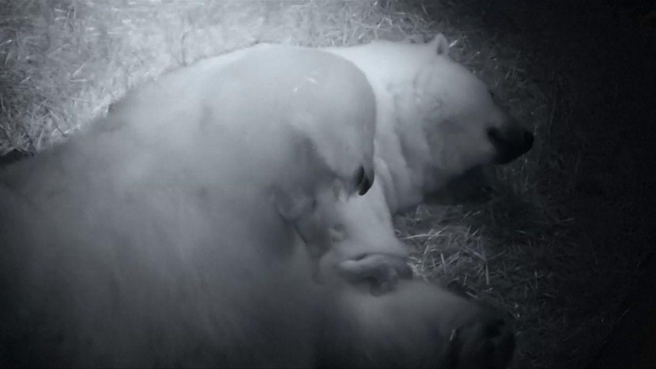 Nacen Dos Crías Gemelas De Oso Polar En Australia