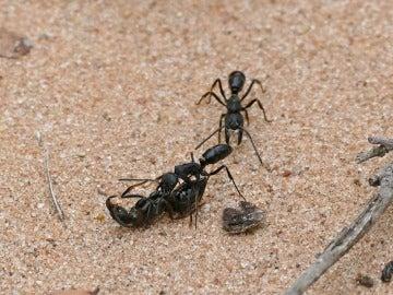 Hormigas en Sudáfrica