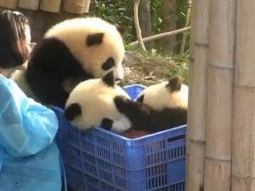 La divertida 'pelea' entre tres crías de panda por un balón de baloncesto