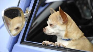 ¿Puedo llevar a mi perro en el coche durante las fases de desescalada del coronavirus?