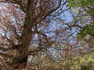 Frame 9.293769 de: El Hayedo de Montejo en peligro por las altas temperaturas y la sequía