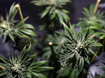 Imagen de plantas de marihuana