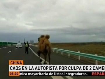 Un camello corre por una autopista china