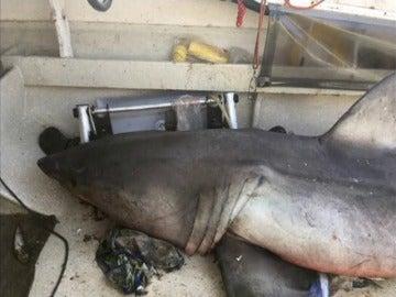 Frame 5.361114 de: Un pescador italiano pesca un tiburón blanco de casi tres metros