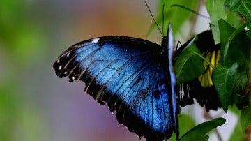 Mariposa 'Morpho Peleides'
