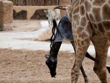 Nacimiento de una jirafa en el Bioparc de Valencia