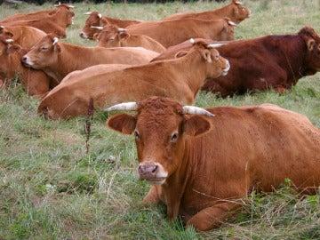 Imagen de varias vacas marrones