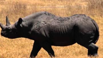 Rinoceronte negro occidental, extinto en 2011