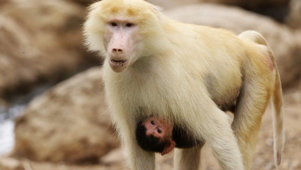 Identifican intimidación sexual de monos babuinos machos a hembras