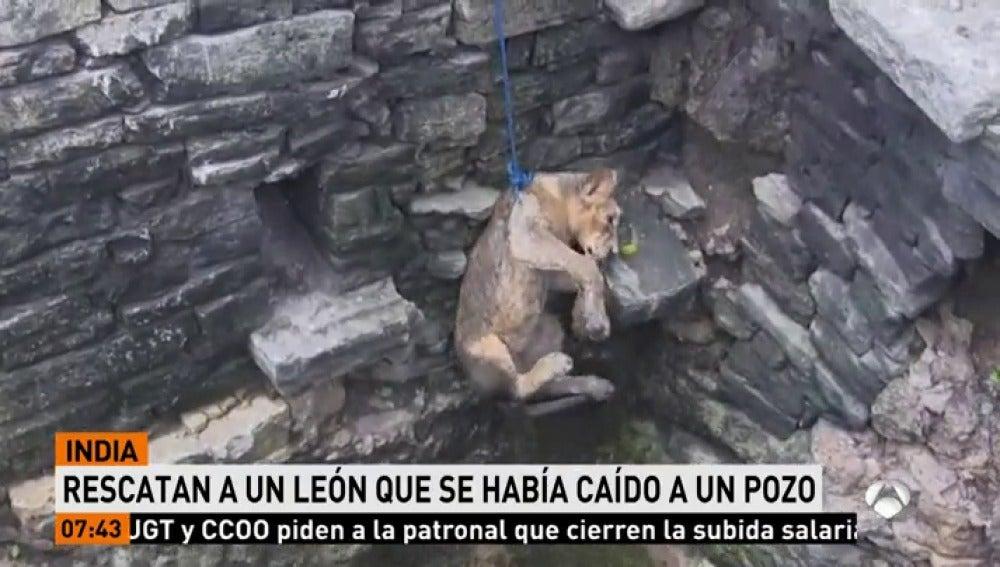 Rescatan a un pequeño león asiático que había caído a un pozo en India