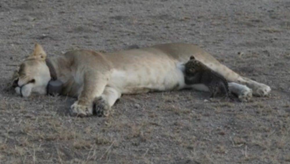 Una leona alimenta a un cachorro de leopardo