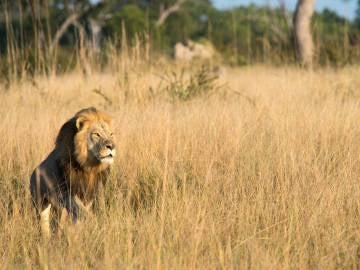 Xanda, el hijo del león Cécil
