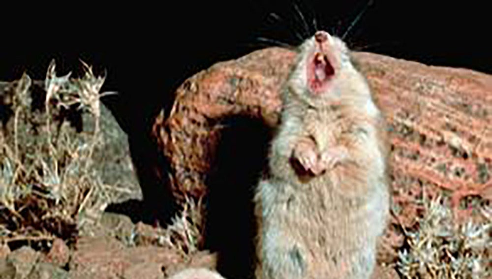 Un ratón saltamontes