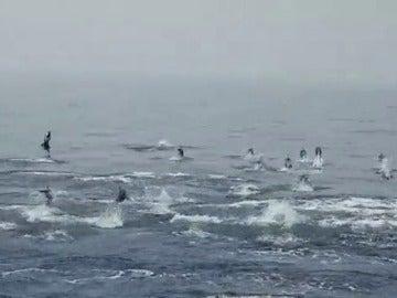 Decenas de delfines en Cabo de Gata