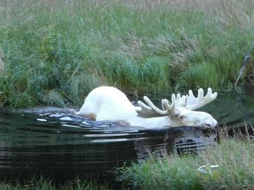 Una de las imágenes del alce blanco