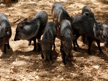 Pecaríes del zoo de Venezuela
