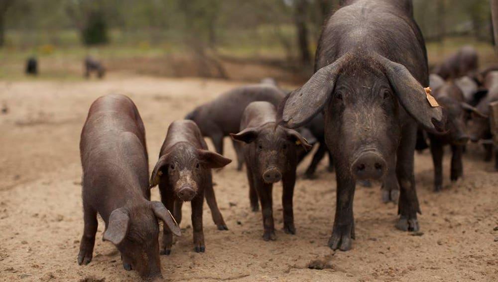 Bautizar a un cerdo pata negra con el nombre de un ex, la curiosa iniciativa de una empresa para salvar la dehesa