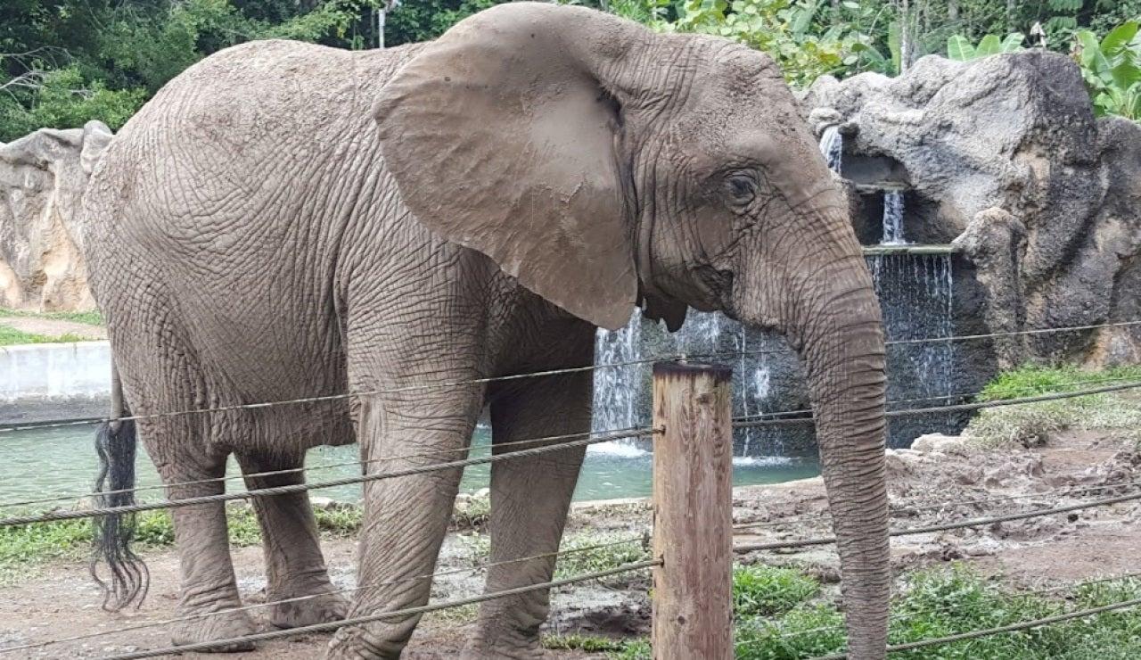 Kaavan, el 'elefante deprimido', será liberado tras pasar 35 años en un zoo