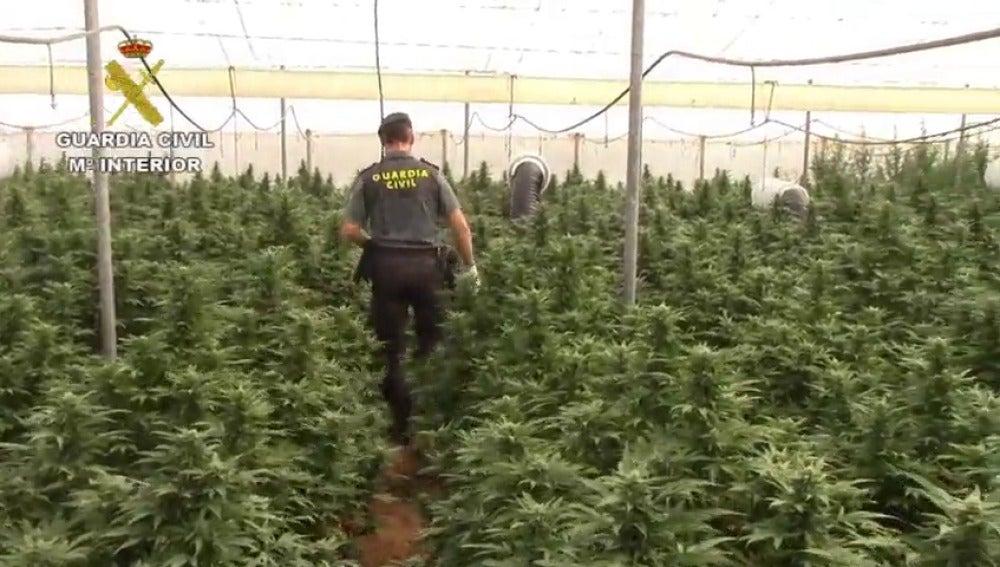 Nueve españoles detenidos e intervenidas más de 8.000 plantas de marihuana en Cádiz