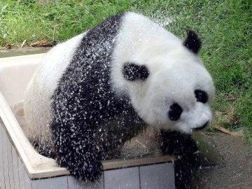 La osa Basi, el panda gigante más viejo del mundo que vivía en cautividad, en el  zoo de Fuzhou, sureste de China