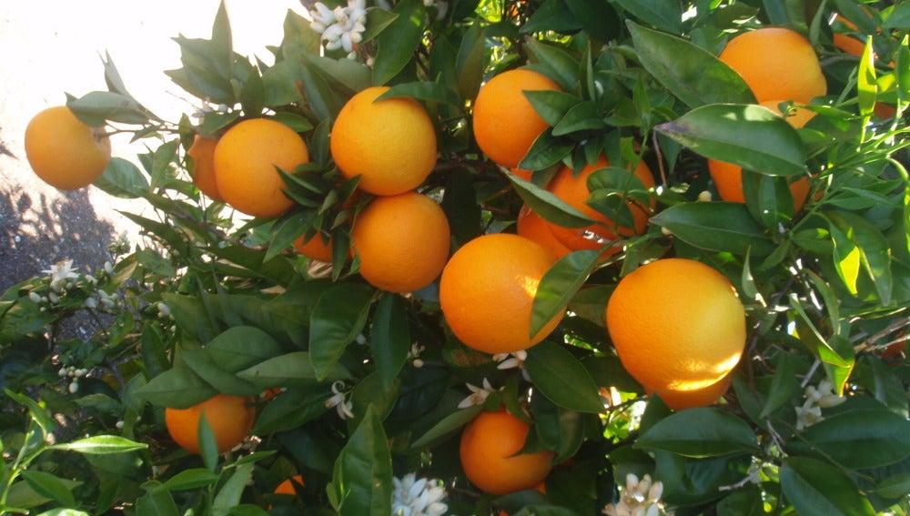 Imagen de archivo: huerta de naranjos.