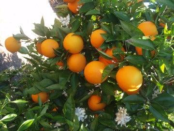 Huerta de naranjos