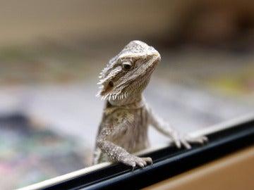 Un Pogona Vitticeps o 'dragón barbudo'