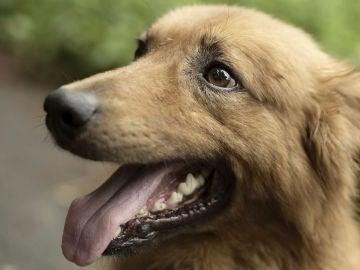 El perro pastor Kit