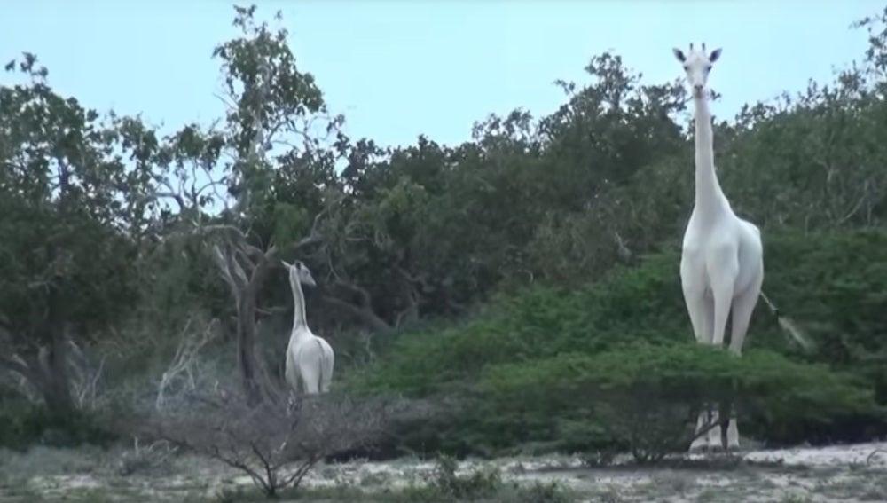 Las llamadas 'jirafas albinas' avistadas en Kenia