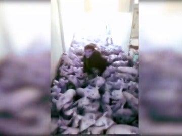 Comienza el juicio de los jóvenes que mataron a 79 lechones aplastados