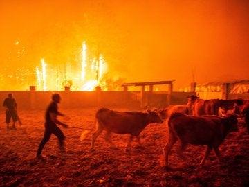 Varios hombres ponen a salvo el ganado durante un incendio forestal declarado en Vieira de Leiria en Marinha Grande