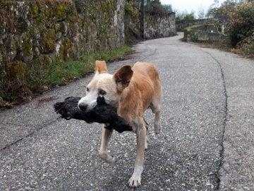 El perro que se ha vuelto viral tras los incendios de Galicia