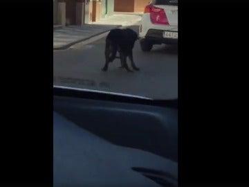 El perro arrastrado por el coche patrulla