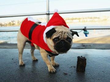 Un perro carlino con un disfraz de Papá Noel