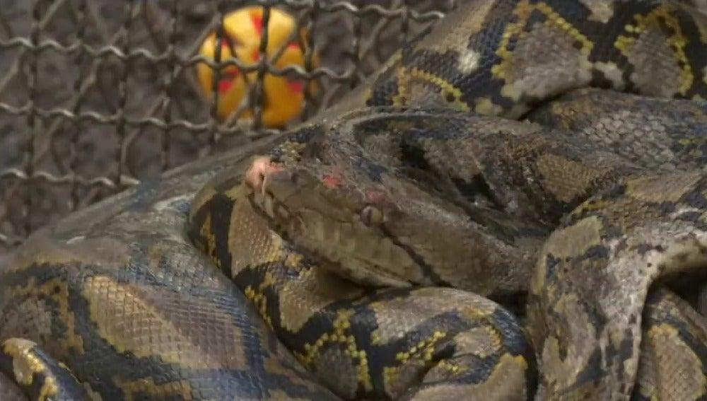 Invasión de serpientes en Bangkok