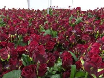 La mejor rosa del mundo está en un pueblo de Soria