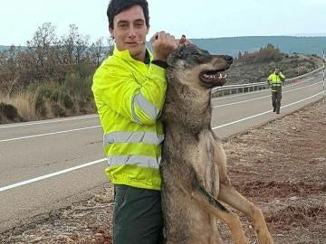 Un retén de incendios atropella a un lobo ibérico y se regocija en redes sociales