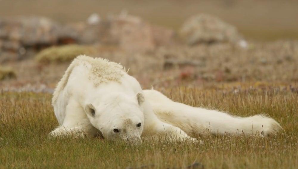 Captura del oso polar que captó Paul Nicklen