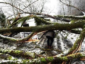Un árbol caído por el temporal en Gales