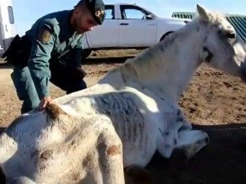 Hallan abandonados y desnutridos a doce caballos en un terreno de Huelva y uno de ellos es sacrificado