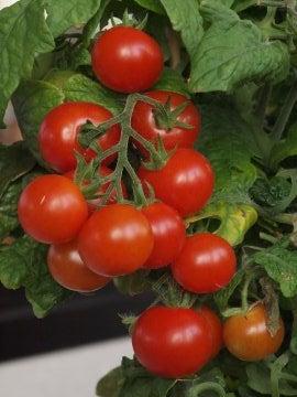 Así se prepara tomate en conserva casero