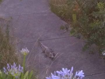 El cocodrilo hallado en Melbourne