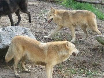 Los tres jóvenes ejemplares de lobo gris de un pelaje negro y color beige
