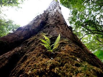 Evercreech Forest, las encías blancas más altas del mundo en Tasmania (30-12-2017)