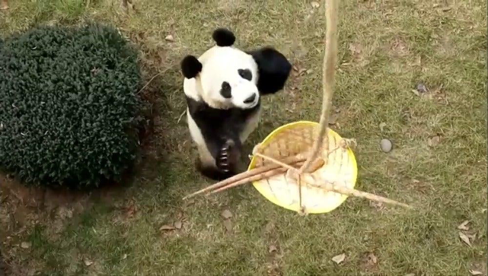 Cuatro cachorros de panda gigante celebran su primer día de 2018 en un zoo de China