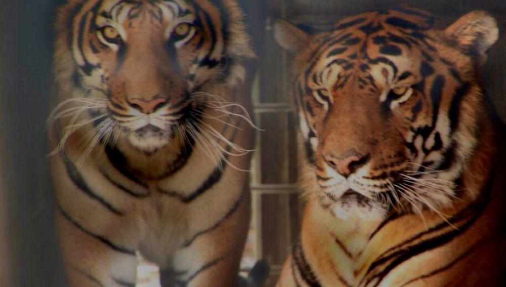 Imagen de dos tigres