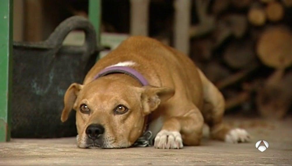 Un perro tumbado