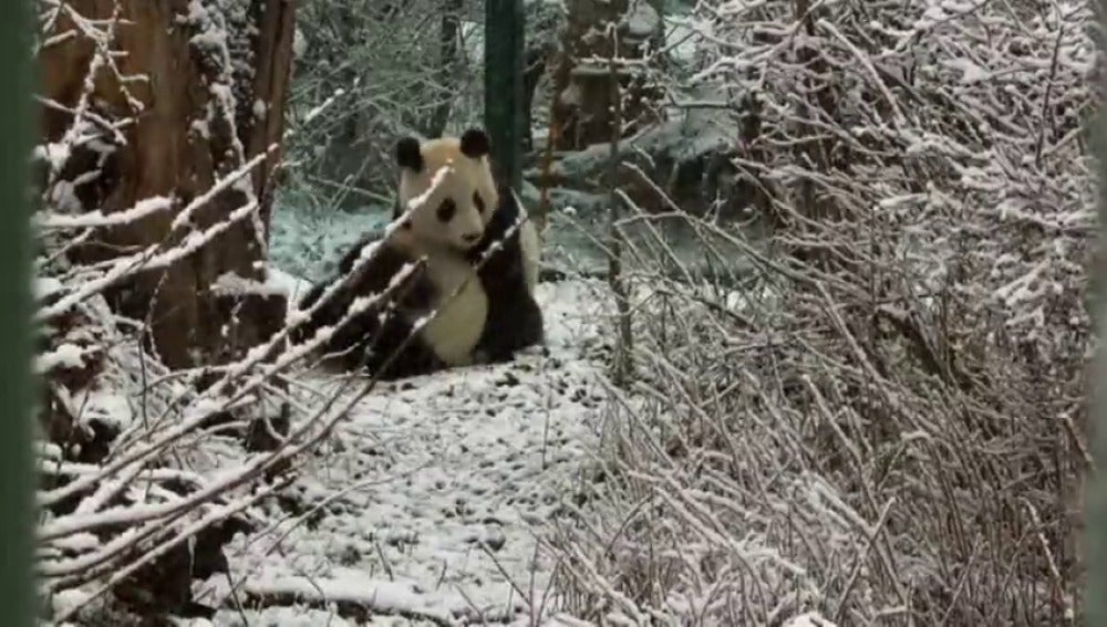 Fu Feng y Fu Ban disfrutan de su primera nevada en el zoo de Viena