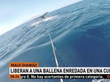 Liberan a una ballena jorobada