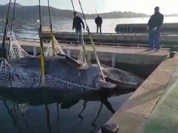 Salvamento Marítimo remolca a una ballena hallada muerta hace unos días